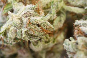 bigstock Marijuana Macro 84376379 300x200 - Is it True That Marijuana Can Trigger Schizophrenia and Psychosis?